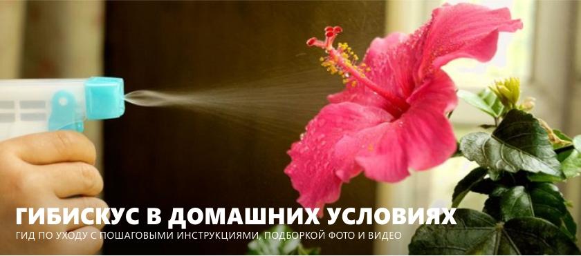 Как ухаживать за гибискусом (комнатной китайской розой) в домашних условиях